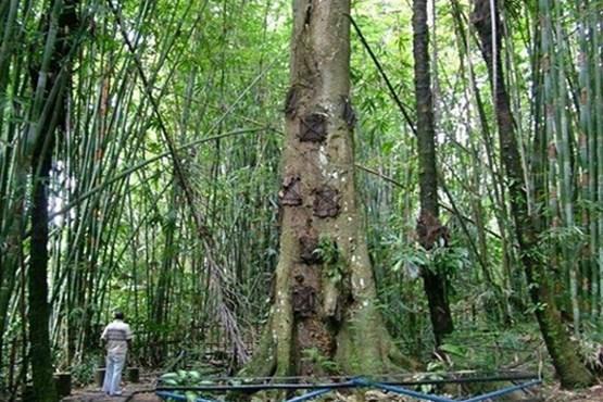 دفن در درخت