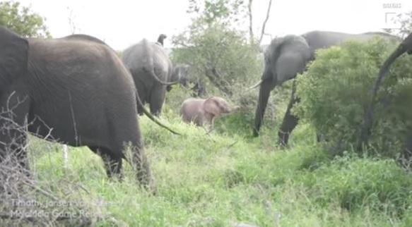 فیل صورتی