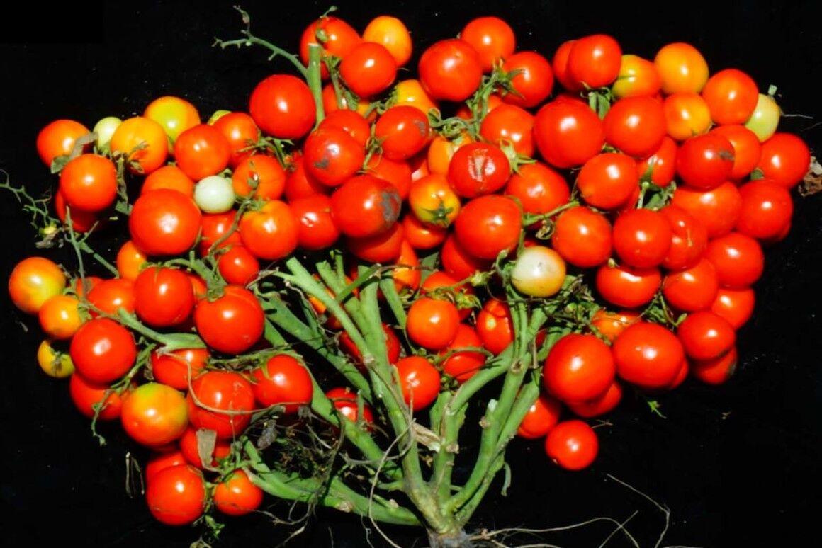 گوجه انگوری
