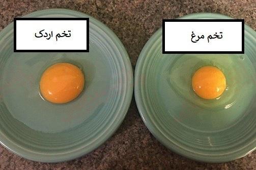 مقایسه تخم اردک و تخم مرغ