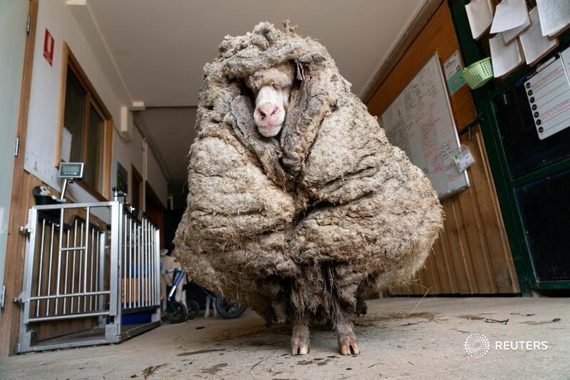 گوسفندی که ۳۵کیلوگرم پشم داشت!  +عکس
