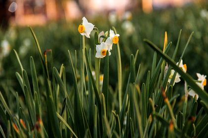فصل برداشت گل نرگس در بهبهان +تصاویر