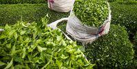 تأخیر یک هفتهای در زمان برداشت برگ سبز چای
