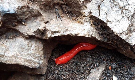 راز زنده ماندن حلزونهای بیصدف در آتشسوزی استرالیا +عکس
