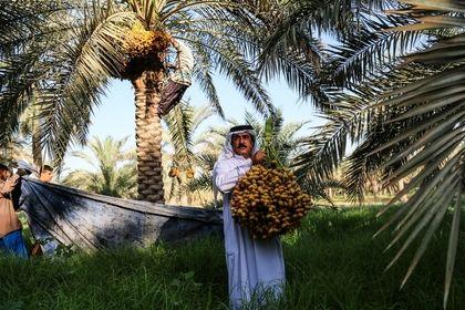 برداشت خرما و رطب در روستای ابودبس +عکس