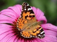 تاثیر تغییر اقلیم بر تکثیر پروانههای تهران