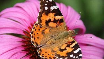 پروانهها آفتی برای محیط زیست نیستند