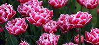 جشنواره گلهای لاله +تصاویر