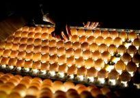 حذف عوارض صادرات تخم مرغ