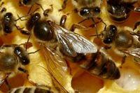 تسکین علائم اگزما با زهر زنبورعسل