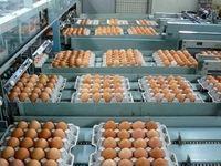 تولید و مصرف تخم مرغ سر به سر شد/ مشکلی برای تامین نیاز ماه رمضان نداریم/ قیمت خرید هر عدد تخم مرغ از مرغداران ۴۸۰تومان است