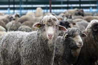 تظاهرات اعتراضی گوسفندان در برلین! +فیلم