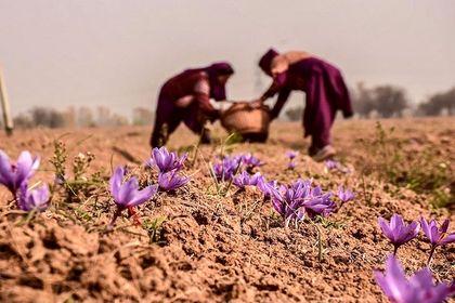 برداشت زعفران در کشمیر +تصاویر