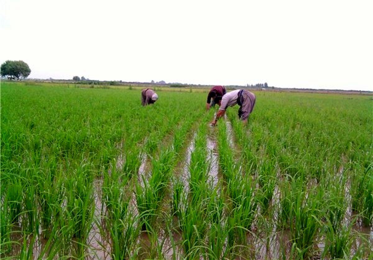 دلالان، تنظیم بازار را در دست گرفتند/ رد ادعای اختلاط برنج ایرانی و خارجی در شمال