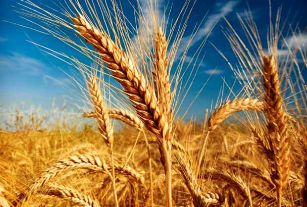 ایران دوازدهمین تولیدکننده گندم دنیاست