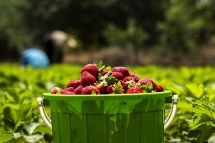 برداشت توت فرنگی در مزارع ساری +تصاویر