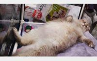 گربه چاق مانع سوار شدن صاحبش به هواپیما شد +عکس