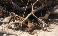 یک جنازه در بیشه عباس آباد دزفول کشف شد