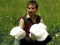 کشف قارچ ۶کیلویی در آذربایجان شرقی+عکس