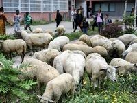 واردات هفتگی ۵۰هزار راس گوسفند زنده