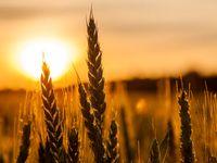 آغاز اولین برداشت گندم سال زراعی جاری در دهه اول فروردین