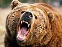 جزئیات حمله خرس گرسنه به مأموران محیط زیست