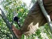 درخت گردو قربانی گرفت!