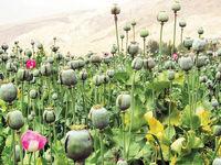 چرا خشخاش از کشاورزی ایران حذف شد؟