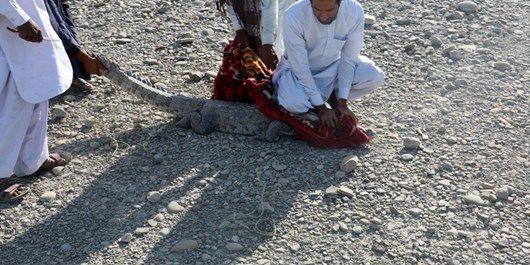 زندهگیری یک تمساح سرگردان در چابهار +عکس