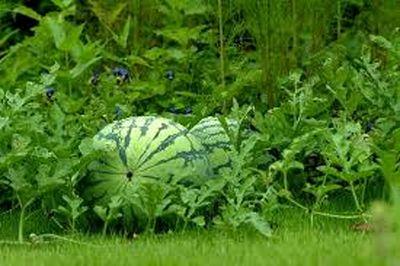 کشت نشایی اغلب محصولات جالیزی تا پایان برنامه ششم توسعه/ کاهش ۱۰تا ۱۵درصدی مصرف آب با کشت نشایی محصولات جالیزی/ کاهش مصرف بذر به یک ششم در هر هکتار