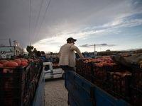 گرانی گوجه ادامهدار شد +لیست نرخ انواع میوه