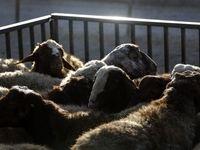 ممنوعیت صادرات دام زنده غیرگوشتی رفع شد