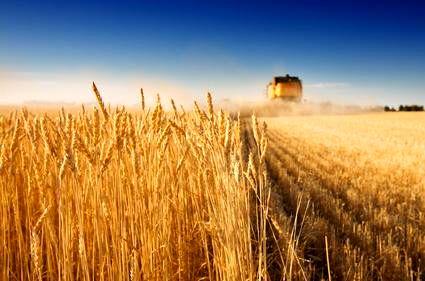 گندم صادراتی کیلویی ۸۰۰تومان!