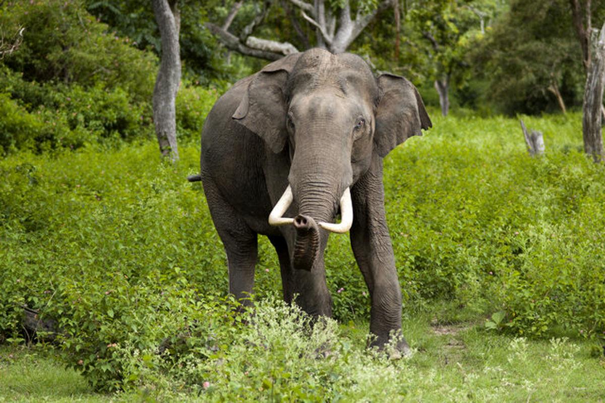 دانستنی های جالب درباره فیل آسیایی