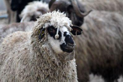 واردات گوسفند