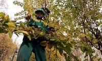 هرس پاییزه درختان تهران +عکس
