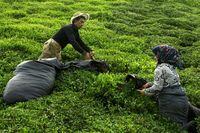 چای ایران به چند کشور صادر شد؟