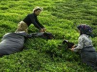 افزایش قیمت خرید تضمینی برگ سبز چای