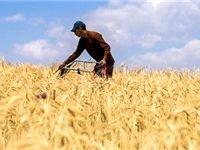 خرید گندم به مرز 4میلیون تن رسید
