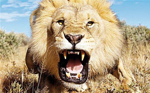 نبرد دلاورانه یک شیر در میان ٢٠کفتار +فیلم