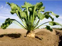 تفاوت معناداری بین بذر پاییزه و بهاره چغندرقند نیست/ شرایط آب و هوا دلیل اصلی کاهش تولید است