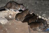 معضل موشهای نروژی، غول خفته تهران