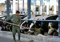 یک کشف عجیب درباره گاوها
