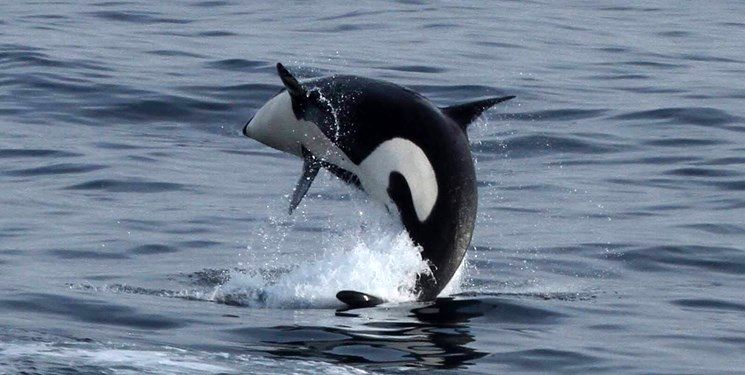 خوشحالی دانشمندان از تولد نوزاد نهنگ در حال انقراض +عکس