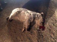 دستگیری سنگاندازان بیرحم به خرس قهوهای +عکس