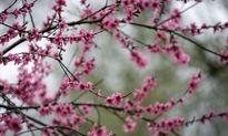شکوفههای بهاری در مشهد +تصاویر