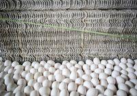 رانتخواران به دنبال واردات تخم مرغ