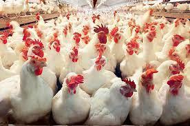 خرید و فروش مرغ زنده بیشتر از ۸۷۰۰تومان ممنوع شد