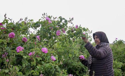 عطر گل محمدی در دل کویر