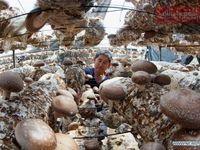 تصاویری از پرورش قارچ در استان ههبی در شمال چین
